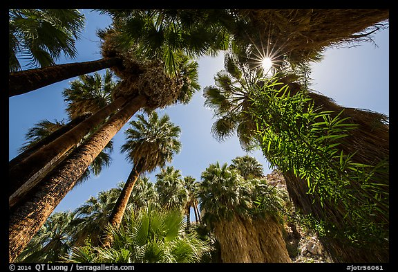 Looking up palm trees in 49 Palms Oasis. Joshua Tree National Park (color)