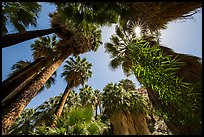 Looking up palm trees in 49 Palms Oasis. Joshua Tree National Park ( color)