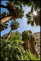 Looking up California palms, Forty-nine palms Oasis. Joshua Tree National Park ( color)