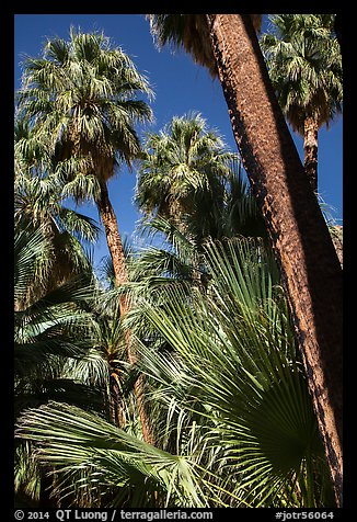 Palms and trunks, Forty-nine palms Oasis. Joshua Tree National Park (color)