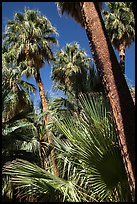 Palms and trunks, Forty-nine palms Oasis. Joshua Tree National Park ( color)