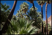 California palm trees, 49 Palms Oasis. Joshua Tree National Park ( color)