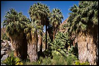 California fan palm trees with frond skirts, 49 Palms Oasis. Joshua Tree National Park ( color)