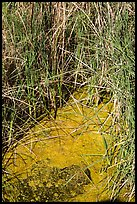 Grasses and pond, 49 Palms Oasis. Joshua Tree National Park ( color)