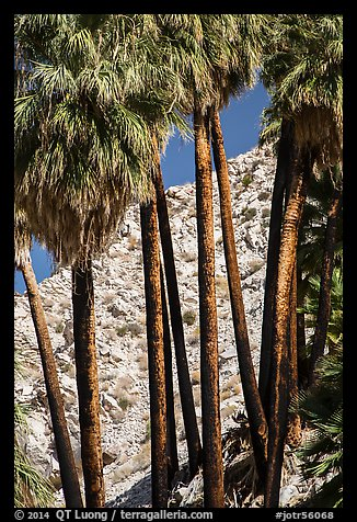 Trunks of California fan palm trees. Joshua Tree National Park (color)