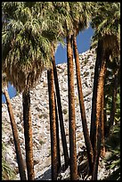 Trunks of California fan palm trees. Joshua Tree National Park ( color)