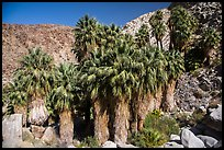 California fan palms, Forty-nine Palms Oasis. Joshua Tree National Park ( color)