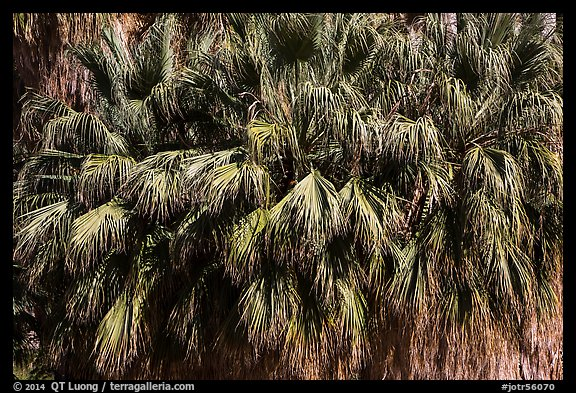 Canopy of California fan palms. Joshua Tree National Park (color)