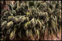 Canopy of California fan palms. Joshua Tree National Park ( color)