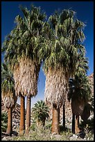 Native California fan palm trees. Joshua Tree National Park ( color)
