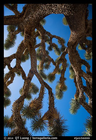 Looking up branches of Joshua tree. Joshua Tree National Park (color)