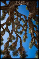 Looking up branches of Joshua tree. Joshua Tree National Park ( color)
