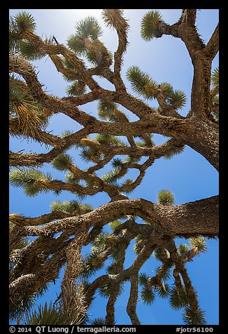 Branches of yucca palm (Yucca brevifolia). Joshua Tree National Park (color)