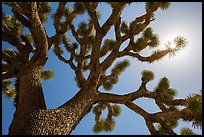 Joshua tree (Yucca brevifolia) and sun. Joshua Tree National Park ( color)