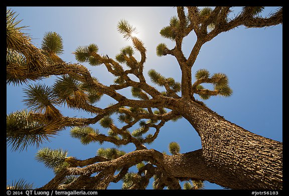 Tree yucca (Yucca brevifolia) and sun. Joshua Tree National Park (color)