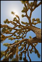 Palm tree yucca (Yucca brevifolia) and sun. Joshua Tree National Park ( color)