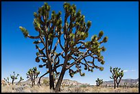 Multi-branched Joshua tree with seeds. Joshua Tree National Park ( color)