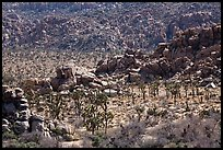 Joshua trees nestled amongst stacks of boulders. Joshua Tree National Park ( color)