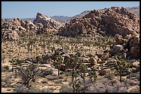Joshua tree forest and piles of boulders. Joshua Tree National Park ( color)