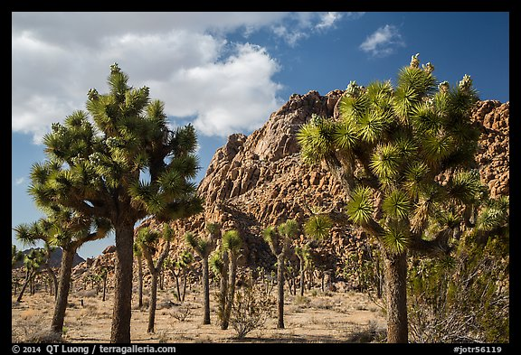 Joshua trees in seed and towering boulder outcrop. Joshua Tree National Park (color)