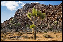 Joshua trees in seed and towering boulder wall. Joshua Tree National Park ( color)