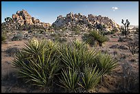 Flowering yuccas and boulders. Joshua Tree National Park ( color)