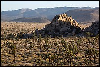 Joshua tree grove and rock outcrops in Hidden Valley. Joshua Tree National Park ( color)