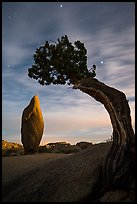 Boulder and juniper at night with moonset glow. Joshua Tree National Park ( color)