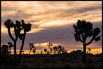 Joshua trees silhouettes at sunrise. Joshua Tree National Park ( color)