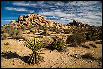 Yuccas and boulder outcrops,. Joshua Tree National Park ( color)