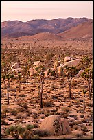 Joshua Trees and San Bernardino Mountains at dawn. Joshua Tree National Park ( color)