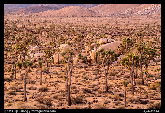 Joshua Trees and boulders from above at dawn. Joshua Tree National Park (color)