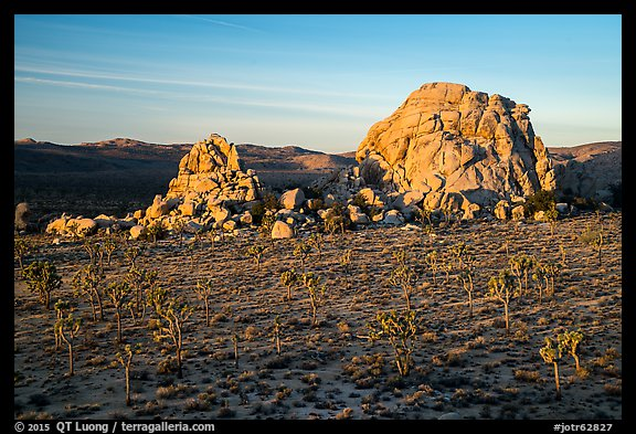 Joshua Trees and large rock formations at sunrise. Joshua Tree National Park (color)