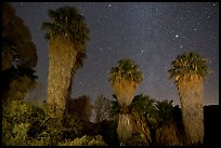 Fan palms, Cottonwood Spring Oasis at night. Joshua Tree National Park ( color)