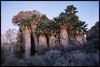 Cottonwood Spring Oasis at dawn. Joshua Tree National Park ( color)