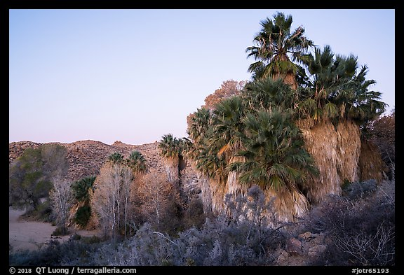 Palm trees and desert wash in Cottonwood Spring Oasis. Joshua Tree National Park (color)