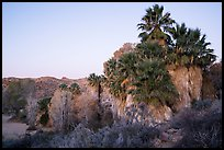 Palm trees and desert wash in Cottonwood Spring Oasis. Joshua Tree National Park ( color)