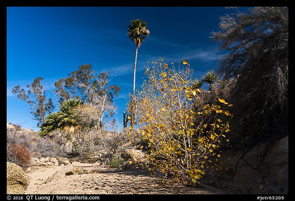 Unnamed oasis with trees and leaves in autumn foliage. Joshua Tree National Park (color)