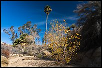 Unnamed oasis with trees and leaves in autumn foliage. Joshua Tree National Park ( color)