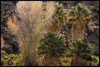Cottonwood with autumn foliage and fan palm trees, Cottonwood Spring Oasis. Joshua Tree National Park ( color)
