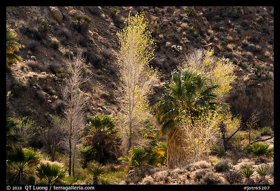 Cottonwoods with autumn leaves and palm trees, Cottonwood Spring Oasis. Joshua Tree National Park (color)