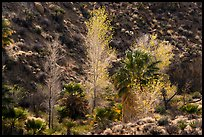 Cottonwoods with autumn leaves and palm trees, Cottonwood Spring Oasis. Joshua Tree National Park ( color)