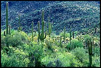Saguaro cacti forest on hillside, Tucson Mountain District. Saguaro National Park ( color)