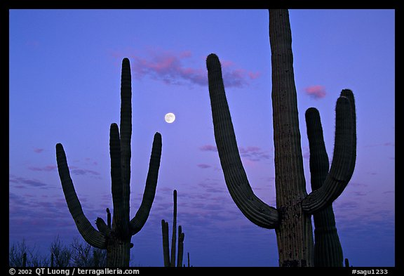 Saguaro cactus and moon at dawn. Saguaro National Park (color)