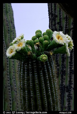 Saguaro cactus flowers and arm. Saguaro National Park (color)