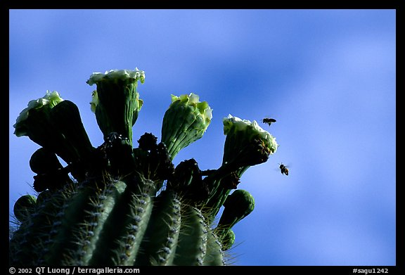 Saguaro cactus flower and bees. Saguaro National Park (color)
