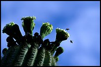 Saguaro cactus flower and bees. Saguaro National Park, Arizona, USA.