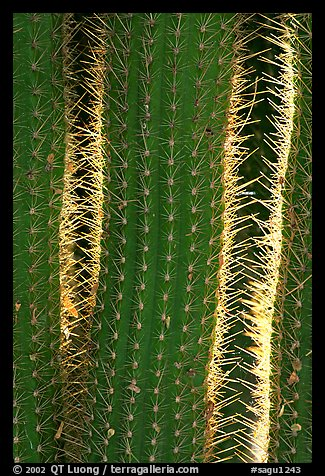 Cactus detail. Saguaro National Park (color)
