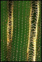 Cactus detail. Saguaro National Park, Arizona, USA. (color)