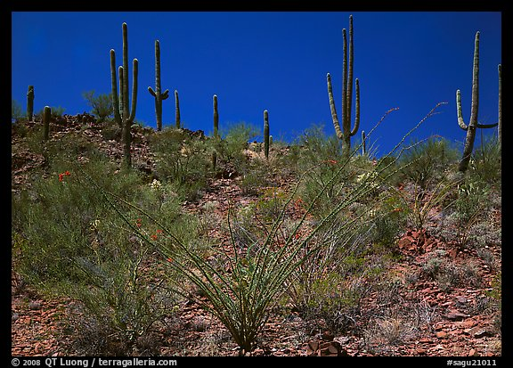 Ocatillo and Saguaro cactus on hillside. Saguaro  National Park (color)